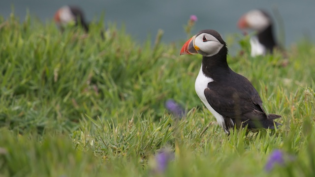 Close up #3 was the beak of a Skomer Island puffin.  Photo: Annerley Johnson