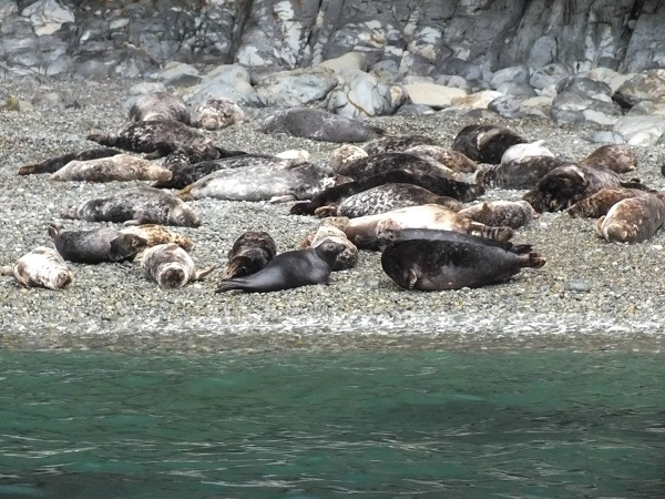 Close up #2 - A seal harem on the coastal rock beach.  Photo: Saskia Heijltje